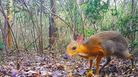 Primer 'ciervo ratón' vietnamita en 30 años: reaparece un animal que se creía extinguido