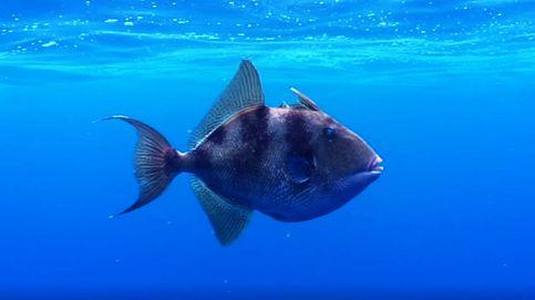 El pez 'punk' más entrometido del mar