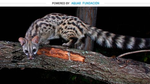 Gineta, el animal con forma de gato que entró a Europa en los barcos árabes