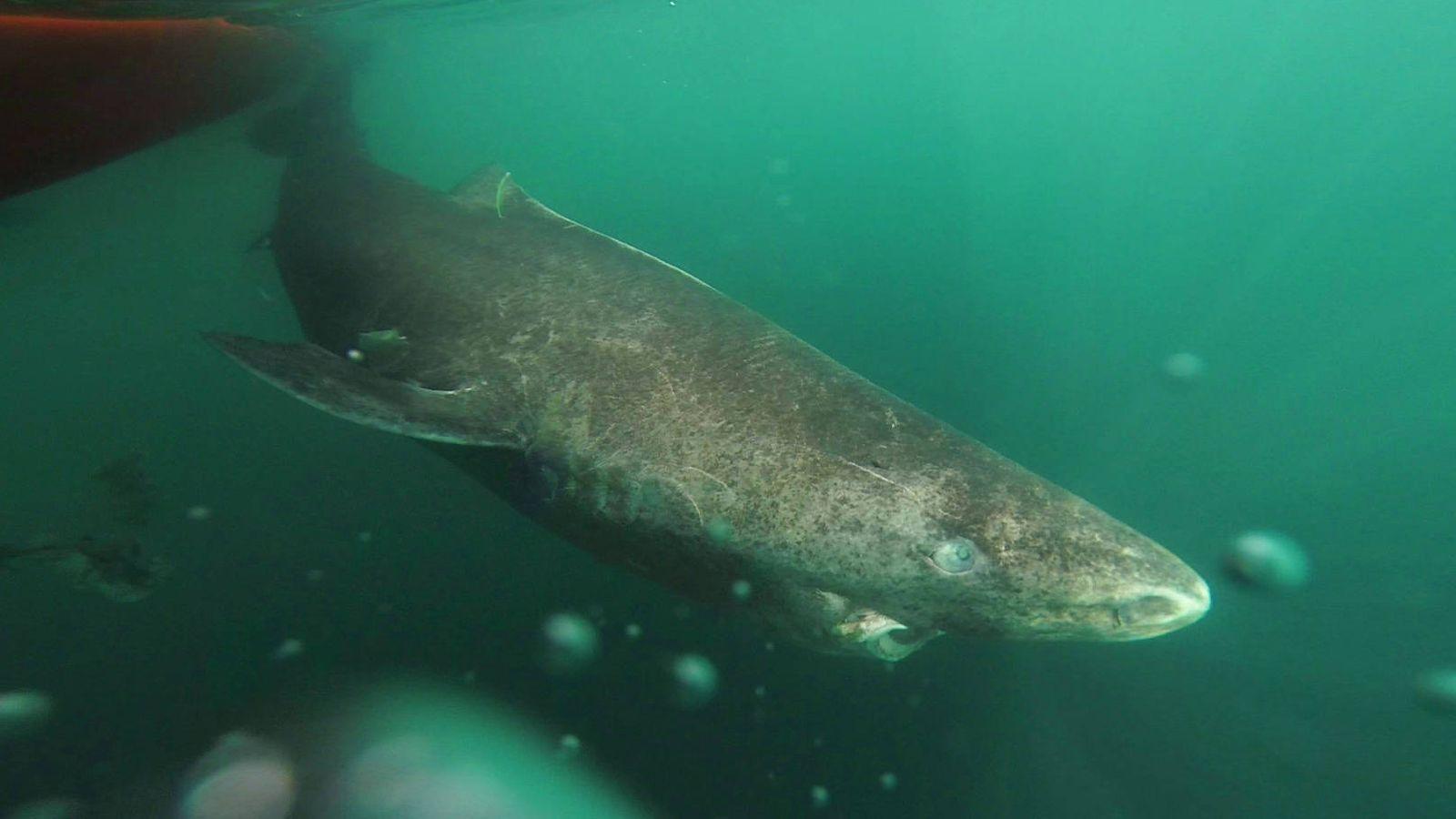 Foto: Ejemplar de tiburón de Groenlandia (Julius Nielsen)