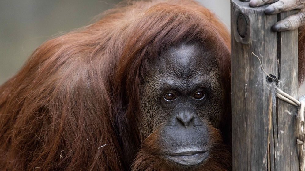 Foto: Un orangután hembra. (EFE)