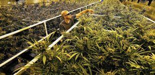 Post de Cosechar marihuana en California: así gané 15.000 dólares en 75 días