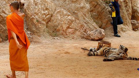 El templo budista que ocultaba una red de tráfico de animales: vuelve el 'Tiger Temple' de Tailandia