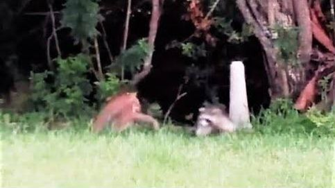 Una madre mapache se enfrenta a un gato montés para proteger a sus crías