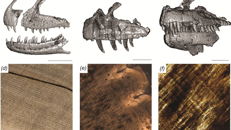 Muestras de los huesos del Majungasaurus. Foto: PLOS ONE
