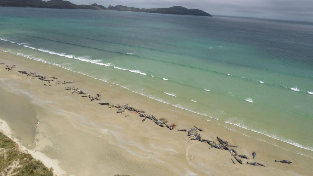 Foto: Imagen de las 145 ballenas muertas en la playa