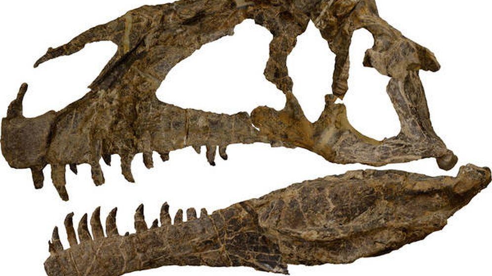 Foto: Cráneo del 'Asfaltovenator Vialidadi'. (Museo Paleontológico Egidio Feruglio)