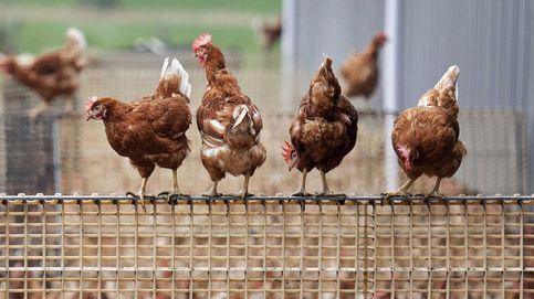 Brote de covid-19 en la fábrica del principal proveedor de pollo de los 'super' en UK