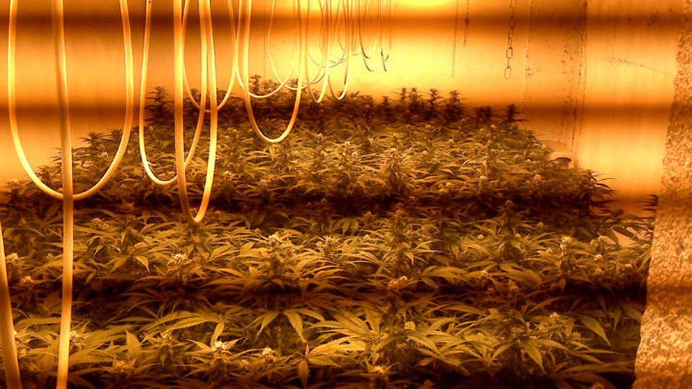Localizan una plantación de marihuana en casa de una pareja de más de 60 años