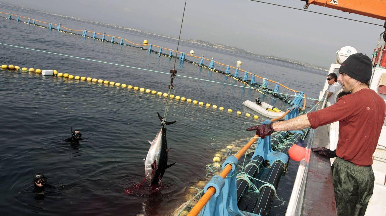 No más bonito del norte hasta 2019: el temor a la sobrepesca cierra la 'costera' más breve
