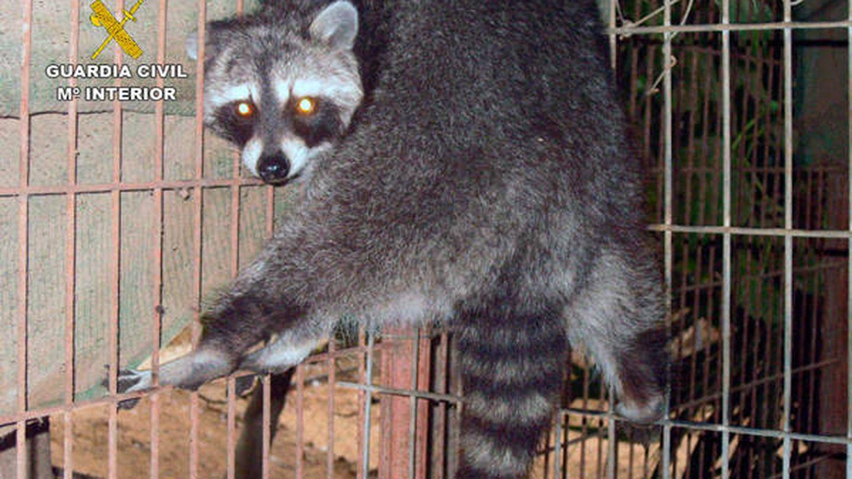 Los agentes encontraron hasta un mapache en una jaula (Guardia Civil)