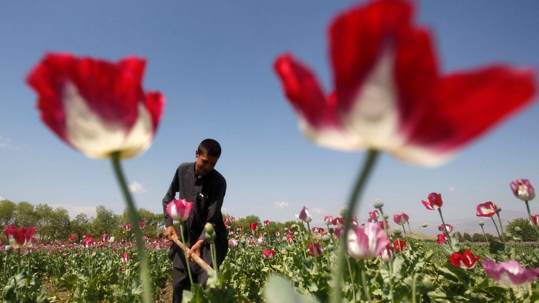 Afgano recogiendo amapolas en Jalalabad. (Reuters)