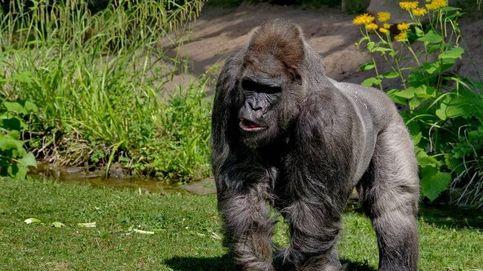 Muere Fritz, uno de los gorilas más ancianos de Europa