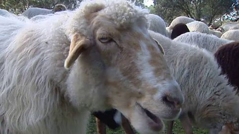 El 'Rebaño por el Clima': 300 ovejas limpiarán la Casa de Campo