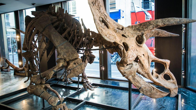 Se trata del mayor esqueleto de Tricerátops encontrado a día de hoy (EFE/EPA/Christophe Petit Tesson)