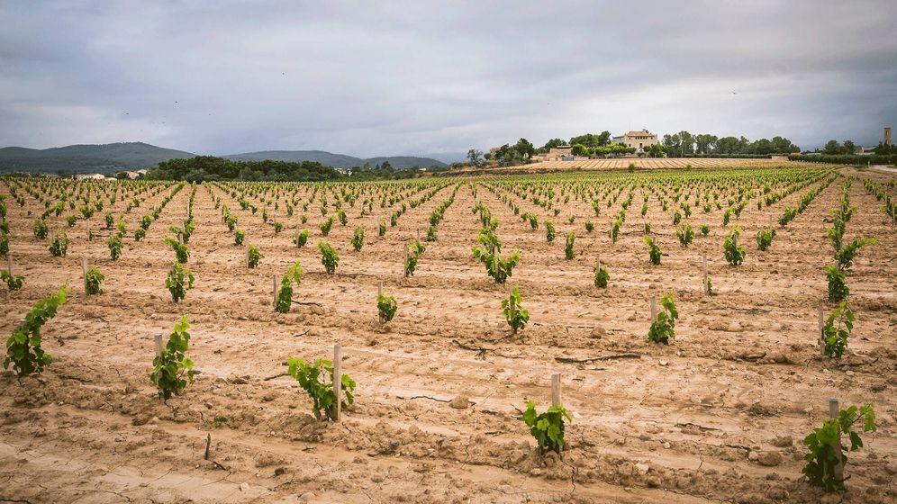 Foto: Nueva plantación de moneu en vaso en la finca del Castell de la Bleda.