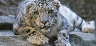 Post de En busca del leopardo de las nieves