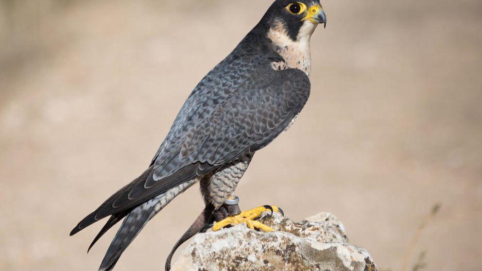 Muere tiroteado uno de los pocos halcones nacidos este año en Madrid