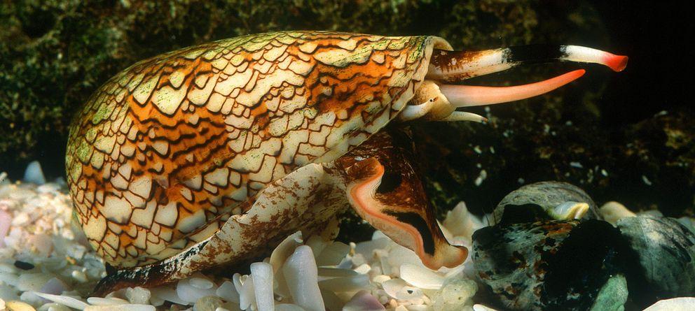 Foto: Los caracoles cono son uno de los animales más venenosos de la Tierra