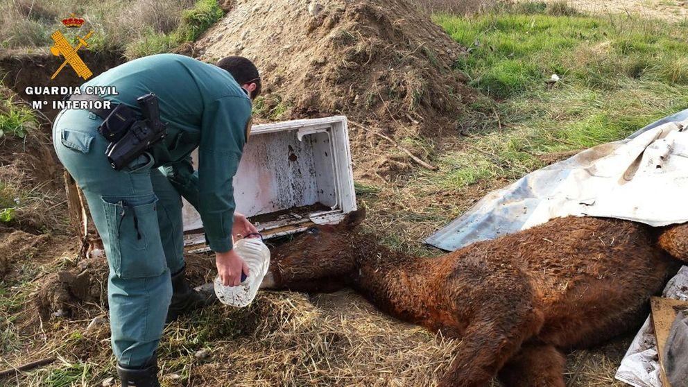 Investigan a tres ganaderos tras la muerte de 14 vacas y caballos totalmente desnutridos