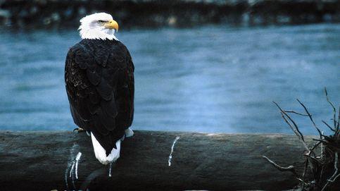 Águilas de cabeza blanca: cuando el DDT puso en peligro el símbolo de Estados Unidos