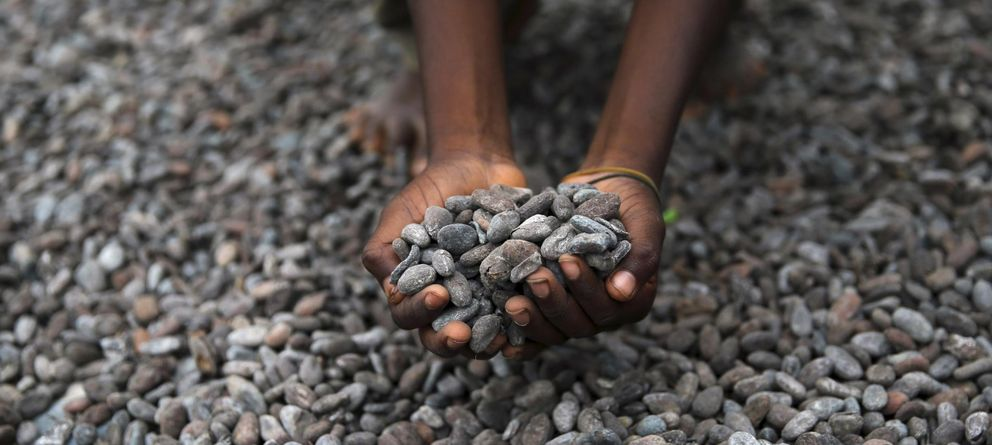 Foto: Semillas de cacao (Reuters)