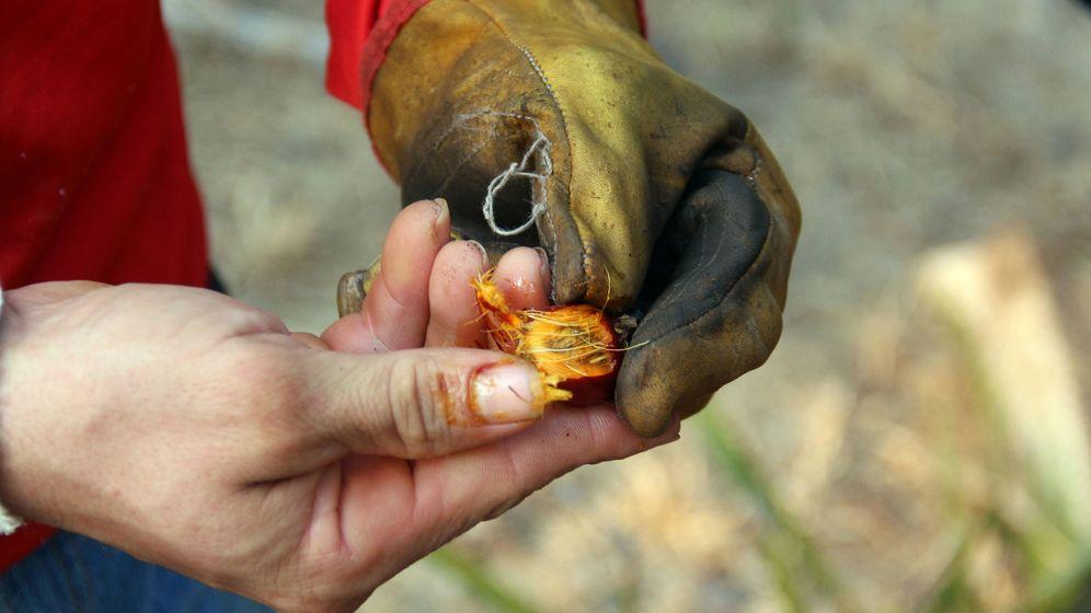 Foto: En la imagen, fruto de la palma africana de la que se obtiene el aceite de palma. (EFE)