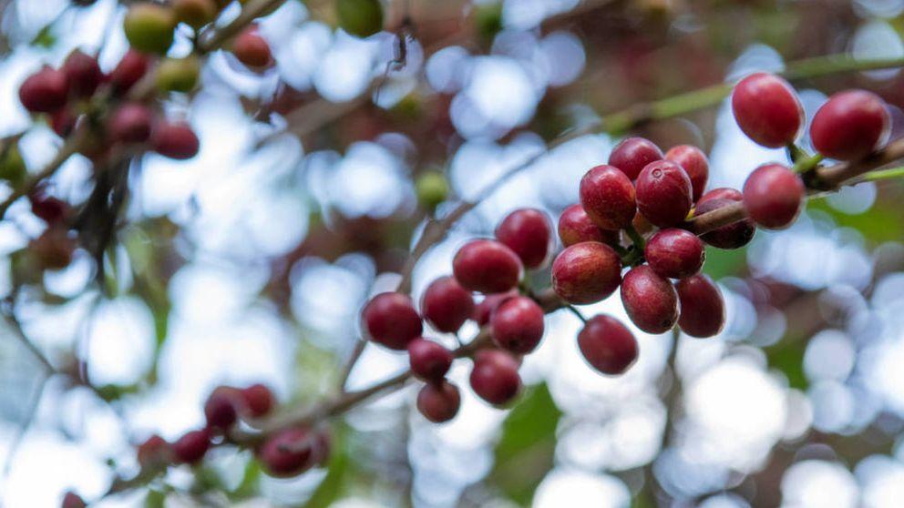 ¿En qué consiste el famoso café verde?