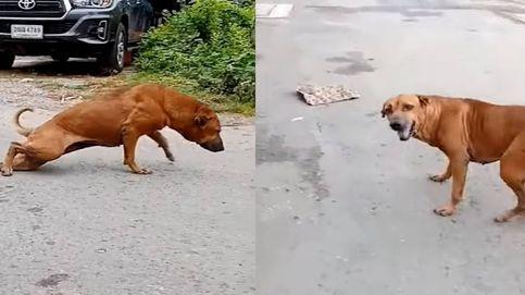 Un perro de Oscar: simula tener una pata rota para que le den de comer