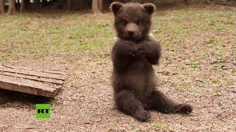 Nuevo hogar para estos osos partos huérfanos en Rusia