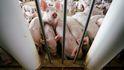 China libera reservas de cerdo para paliar el golpe de la inflación