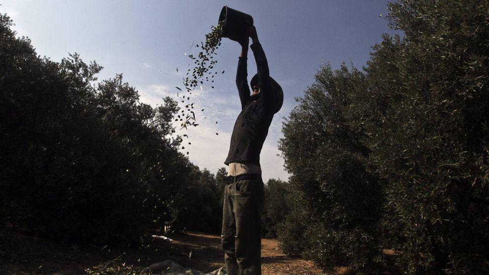 Las exportaciones de aceite de oliva pasan el millón de toneladas