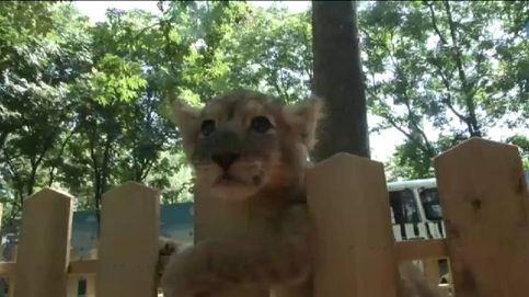 Los criadores salvan a dos cachorros de león recién nacidos en China