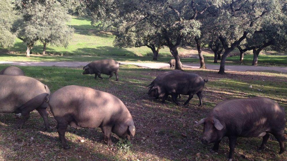 Foto: Cerdos comiendo bellotas en una dehesa. (C.P.)