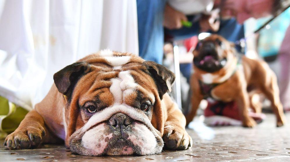 Foto: El bulldog es una de las razas menos sanas. (EFE)