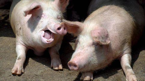 China… defensores, detractores y la teoría de la conspiración del cerdo