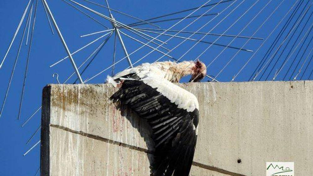 Foto: Una cigüeña muerta en un dispositivo anti-nidos de la Iglesia de Santa Maria de Gardeny (Ipcena/Albert Sater)