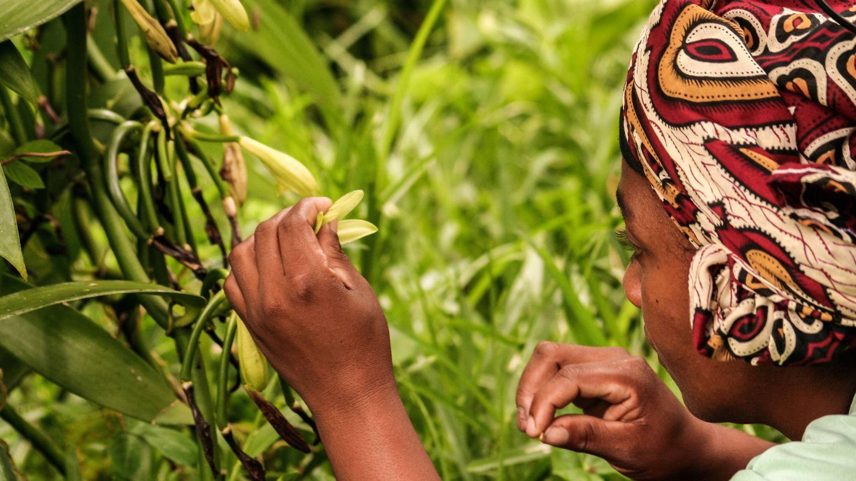 Polinización manual de las flores de vainilla en Madagascar. (iStock)