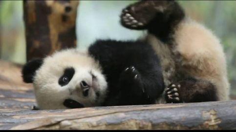 Cría de oso panda busca nombre
