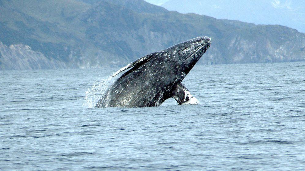 Foto: Una ballena gris bate el récord de distancia recorrida en la migración por un mamífero