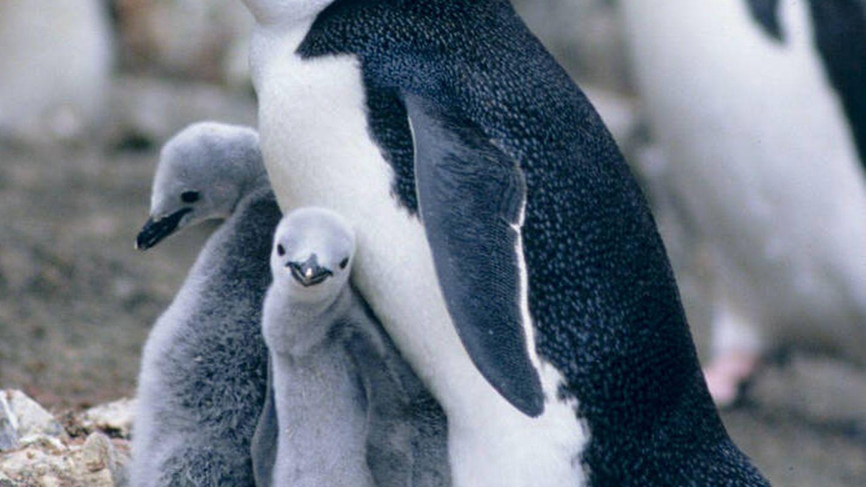 Pingüino barbijo con sus crías.