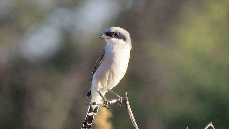 Esta es el ave más rara de España: solo queda una pareja