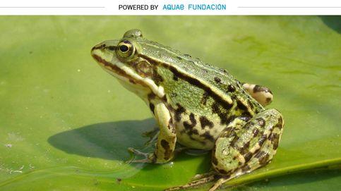 La rana común coloniza charcas con nocturnidad y alevosía