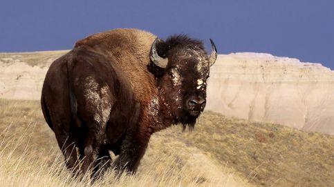 El bisonte americano, un icono de las Grandes Llanuras