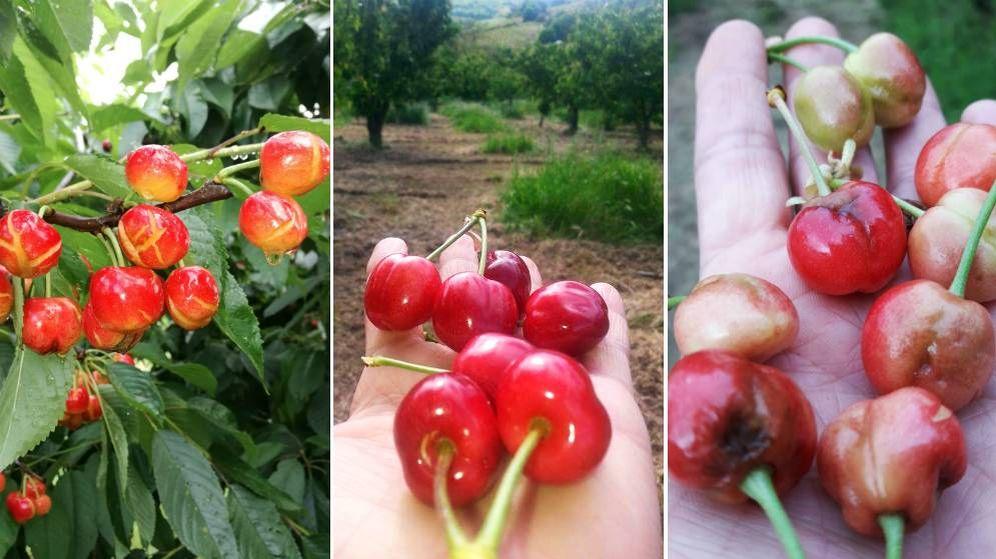 Foto: Montaje con imágenes cedidas por los productores de cereza del Bierzo de los frutos dañados por la lluvia en 2018, en buen estado y malogrados por el granizo de 2017. (EC)