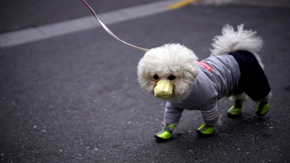 ¿Con mascarilla por coronavirus? Cómo un perro dio positivo sin estar infectado