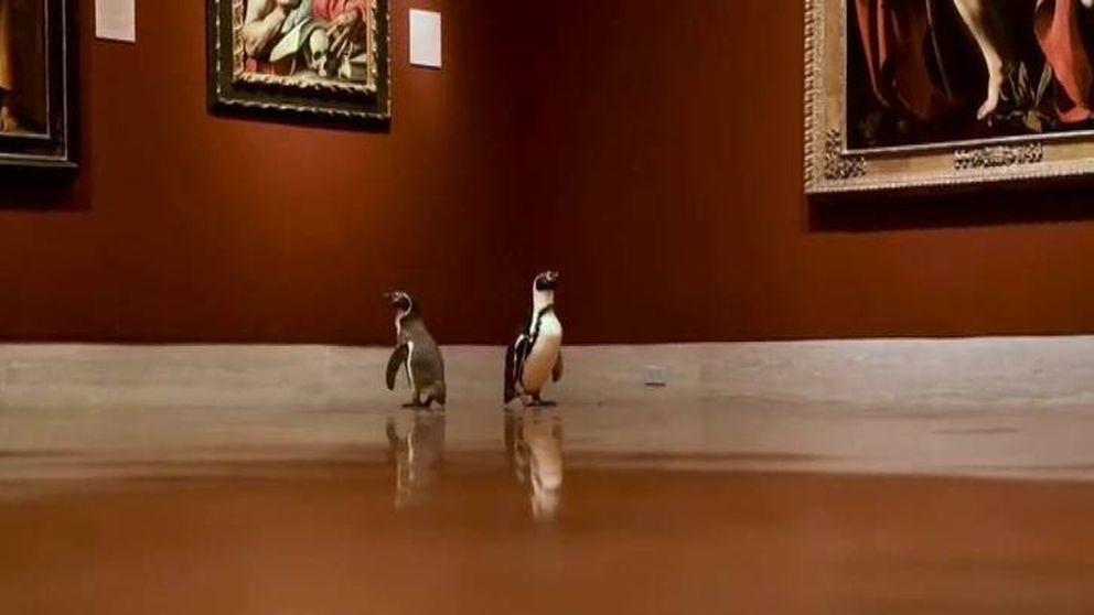 Un trío de pingüinos visita durante la cuarentena el museo de arte de Kansas City