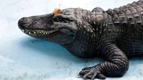 Muja, el caimán más viejo del mundo