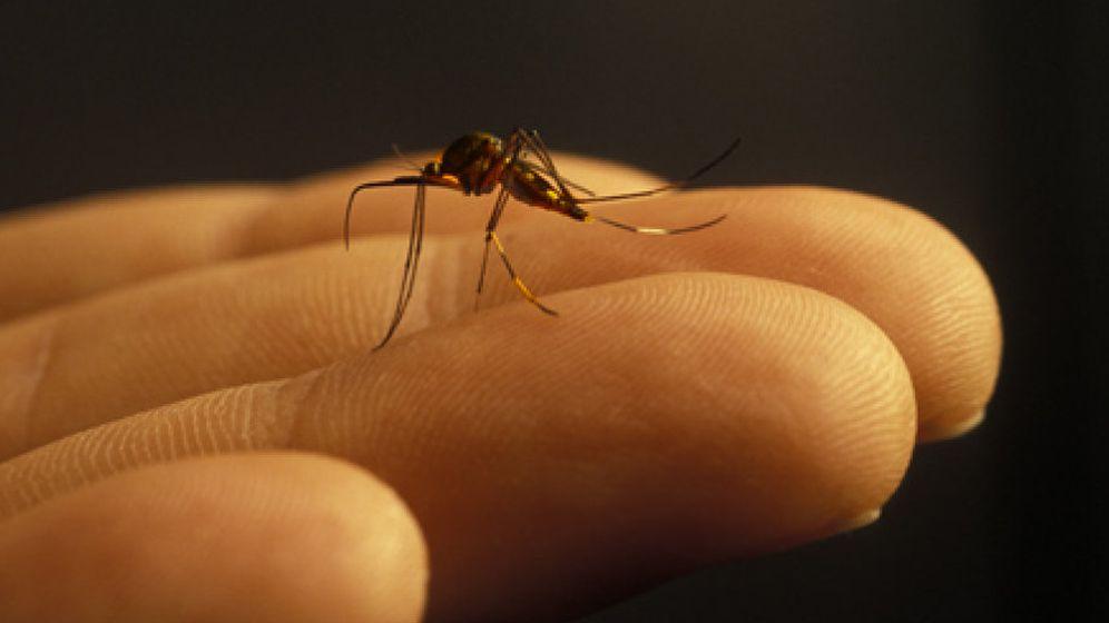Foto: Los cinco remedios caseros más eficaces para repeler a los mosquitos