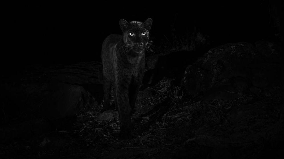 Foto: Espectacular imagen del leopardo negro africano en medio de la oscuridad (Foto: Twitter Will Burrard-Lucas)